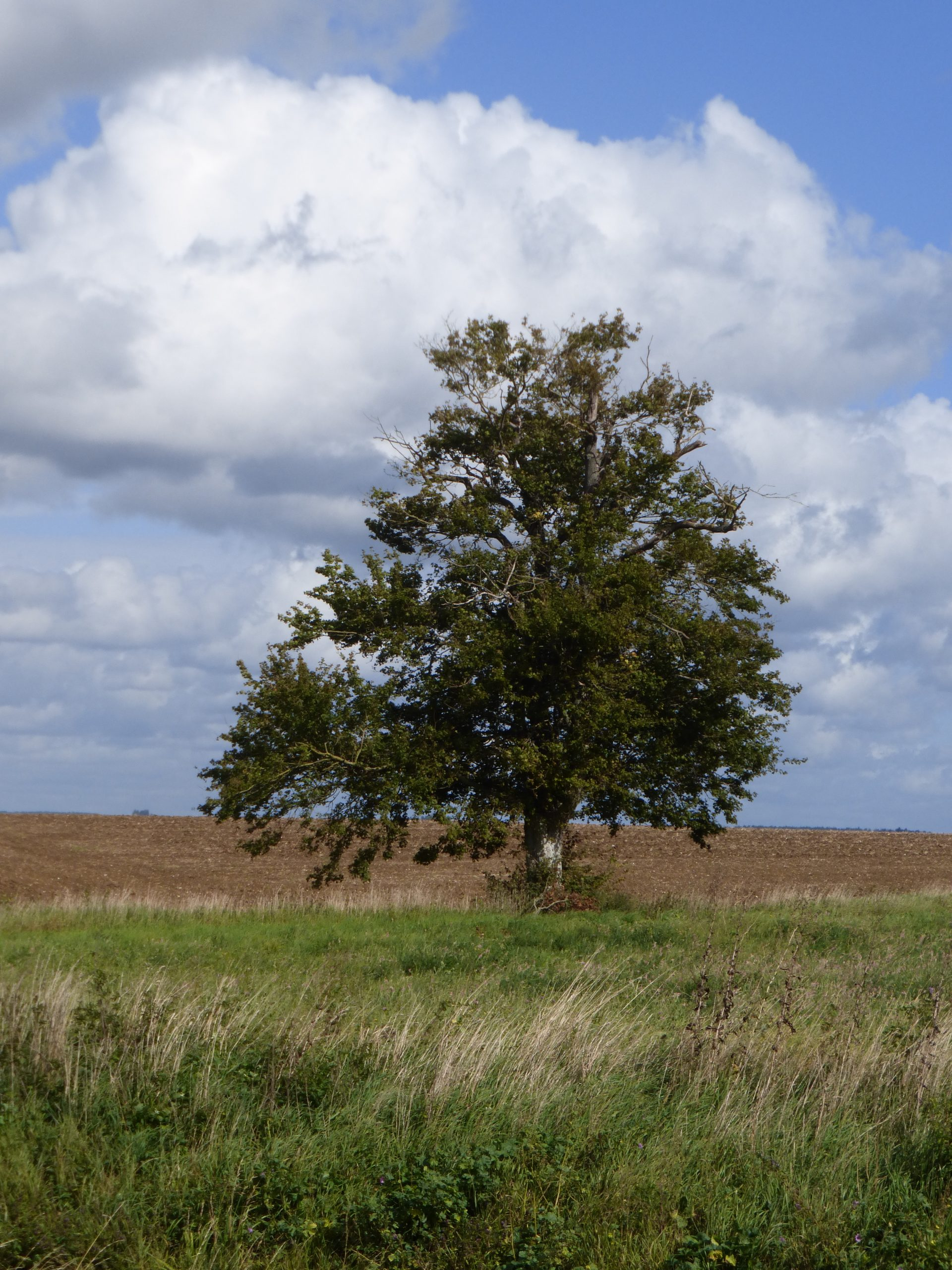 A single tree, in full leaf, stands out with ploughed field behind and rough pasture in front