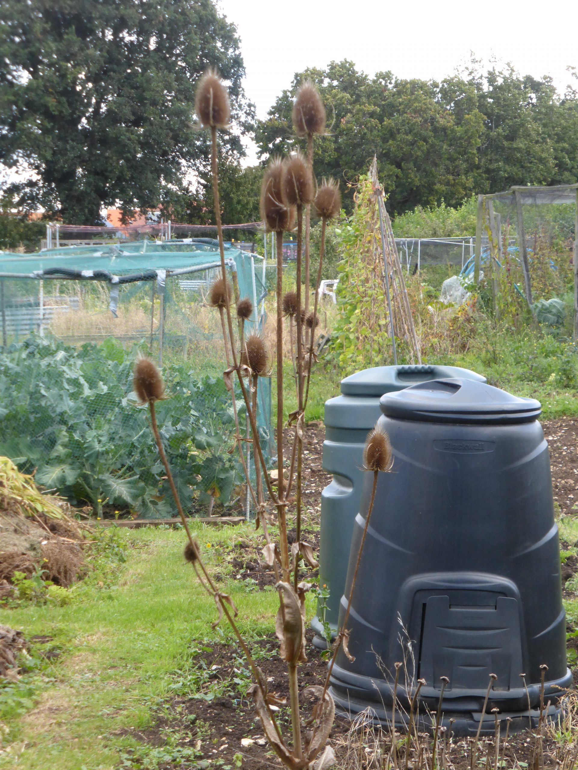 A view of village allotments with large teasels in the foreground