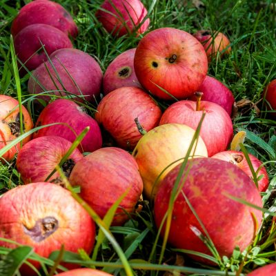 A pile of bright red apples lying in the grass