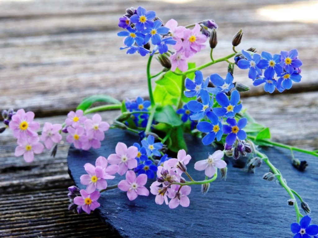 A small bunch of forget-me-nots