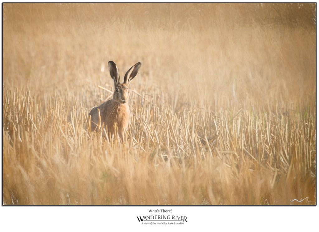 A photograph of a hare in a cornfield