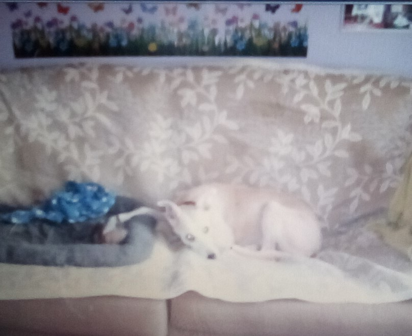 Picture of a whippet lying on a sofa, with its paw extended around a pigeon