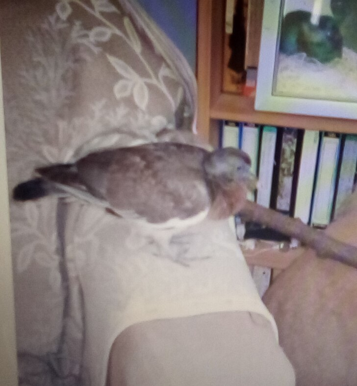 A pigeon standing on the arm of a sofa